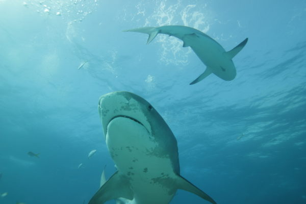 A tiger shark and reef shark swimming in the sunlit water.