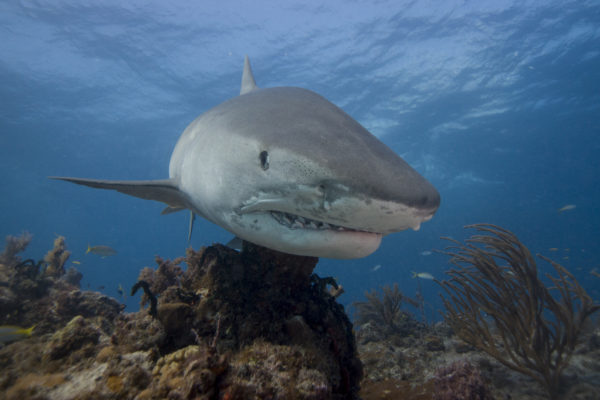 A tiger shark with its teeth visible swimming close to the reef.