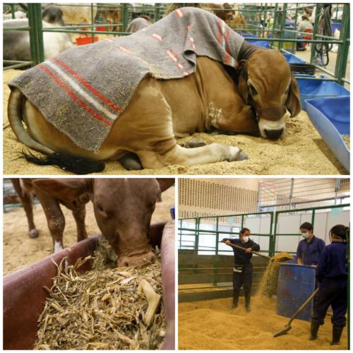 ASÍ ES EL TRAS BAMBALINAS DE LOS ANIMALES EN AGROEXPO 2017