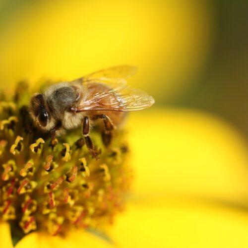 ¿Polinizadores humanos o abejas robots?