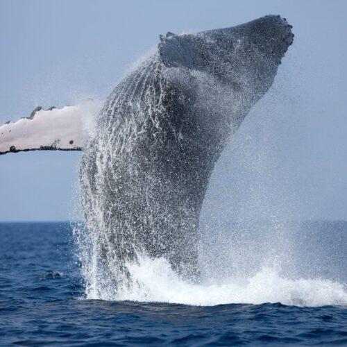 Cinco Razones Para no Perderse la Temporada de Avistamiento de Ballenas en Riviera Nayarit